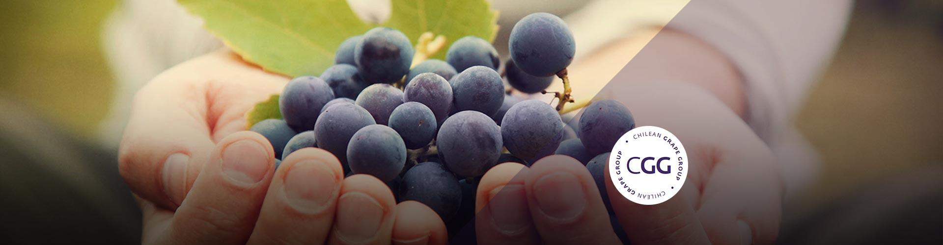 Chilean Grape Group - Chilean Grape Group